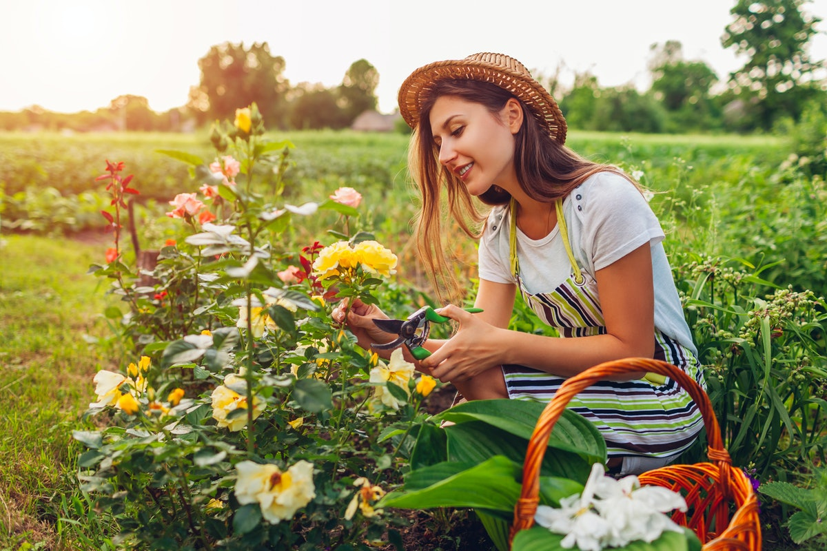 Young woman gathering flowers in garden. Gardener cutting roses off with pruner for bouquet. Summer gardening work
