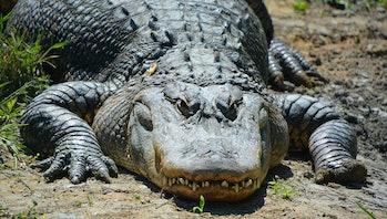 american alligator dinosaurs
