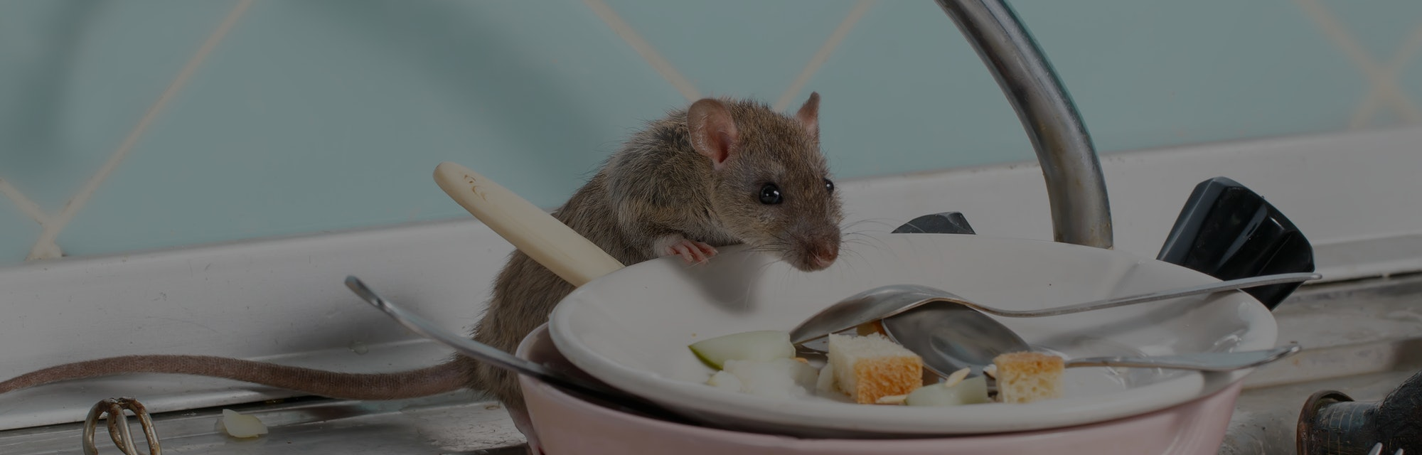 Young rat (Rattus norvegicus) climbs into the dish with the leftovers of food on a plate on sink at ...