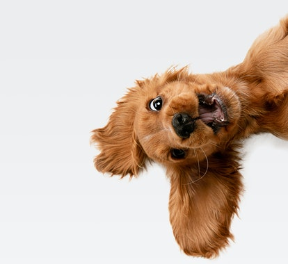 Pure youth crazy. English cocker spaniel young dog is posing. Cute playful white-braun doggy or pet ...