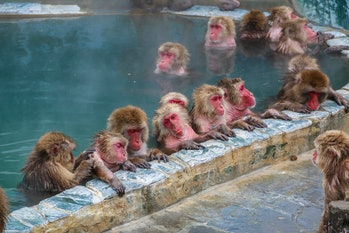 rhesus macaques in a pool