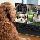 Back view of dog talking to dog friends in video conference. Group of dogs having an online meeting ...