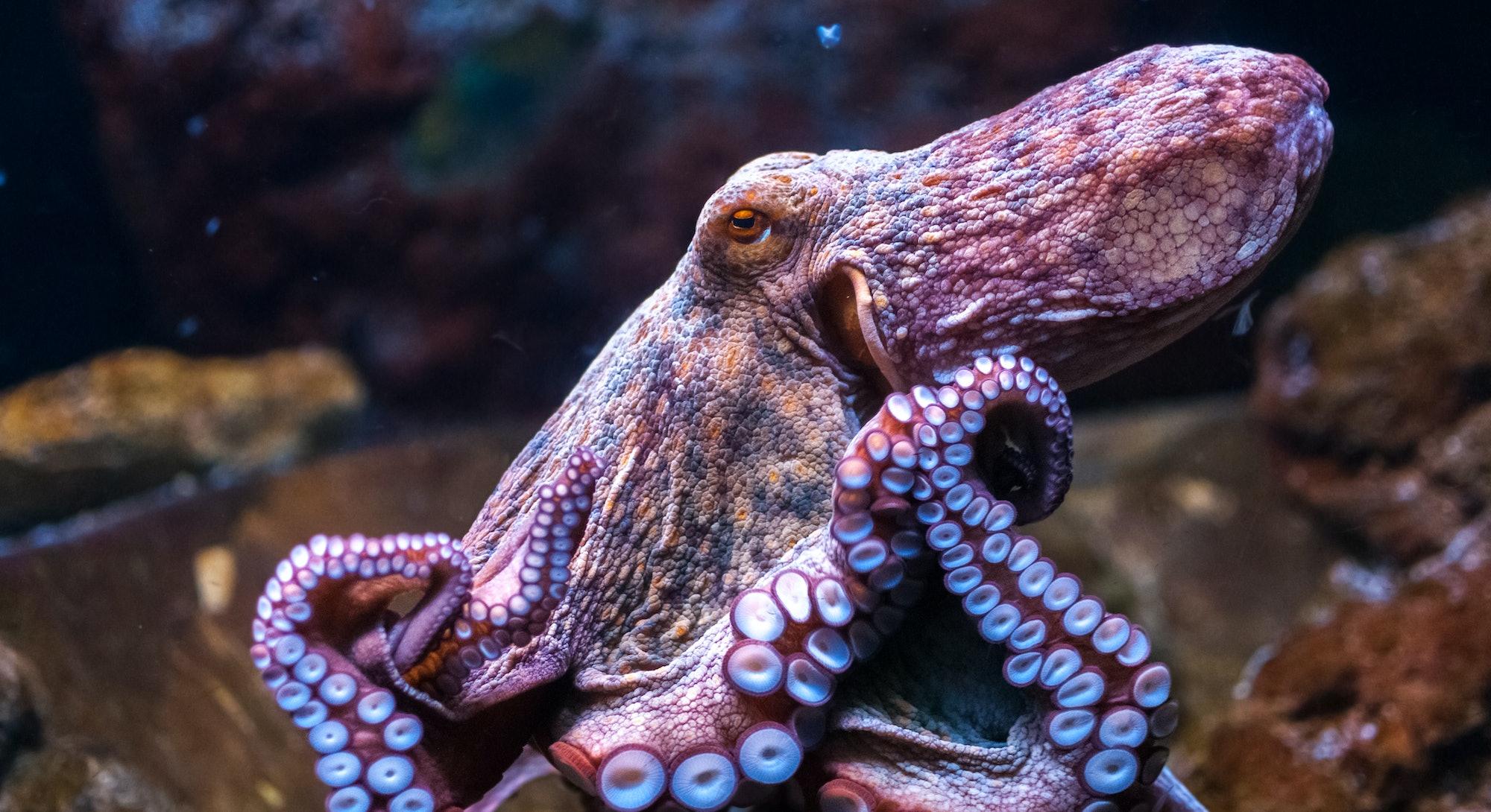 Octopus in water