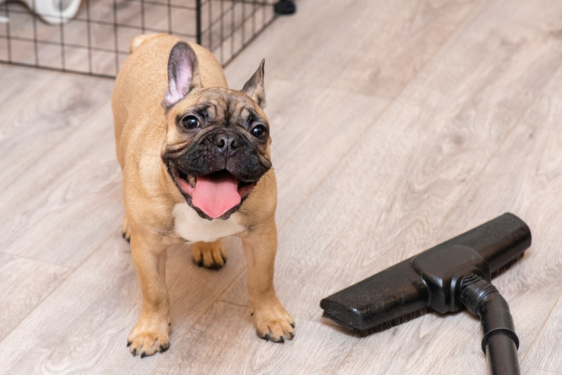French bulldog puppy and vacuum cleaner