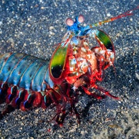 Baby mantis shrimp pack a serious punch — watch