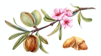 watercolor almond branch with flower
