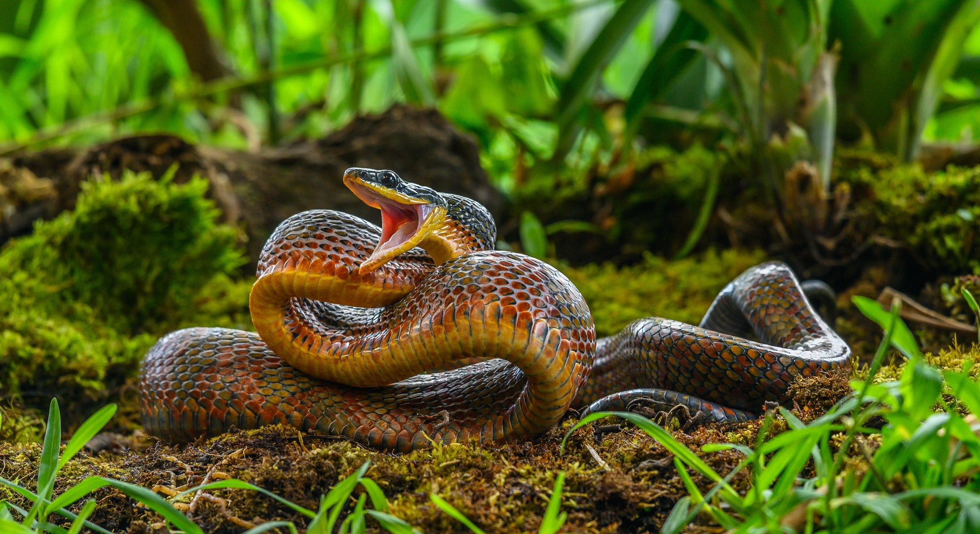 Puffing Snake - Phrynonax poecilonotus is a species of nonvenomous snake in the family Colubridae. The species is endemic to the New World