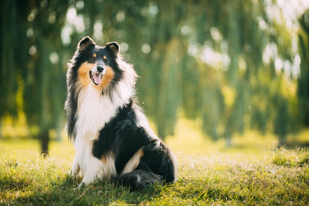 Tricolor Rough Collie, Funny Scottish Collie, Long-haired Collie, English Collie, Lassie Dog Posing ...