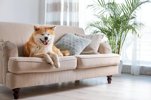 Cute Akita dog on sofa in room with houseplants