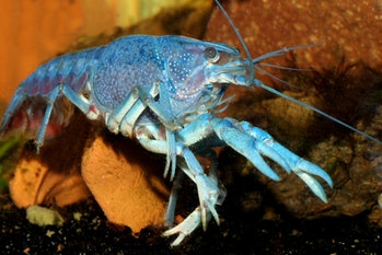 Blue crayfish (Procambarus alleni) electric blue crayfish, sapphire crayfish, or the Florida crayfi...