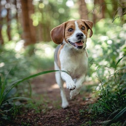 Beagle running in the forest. Happy dog have fun and is active in the nature.
