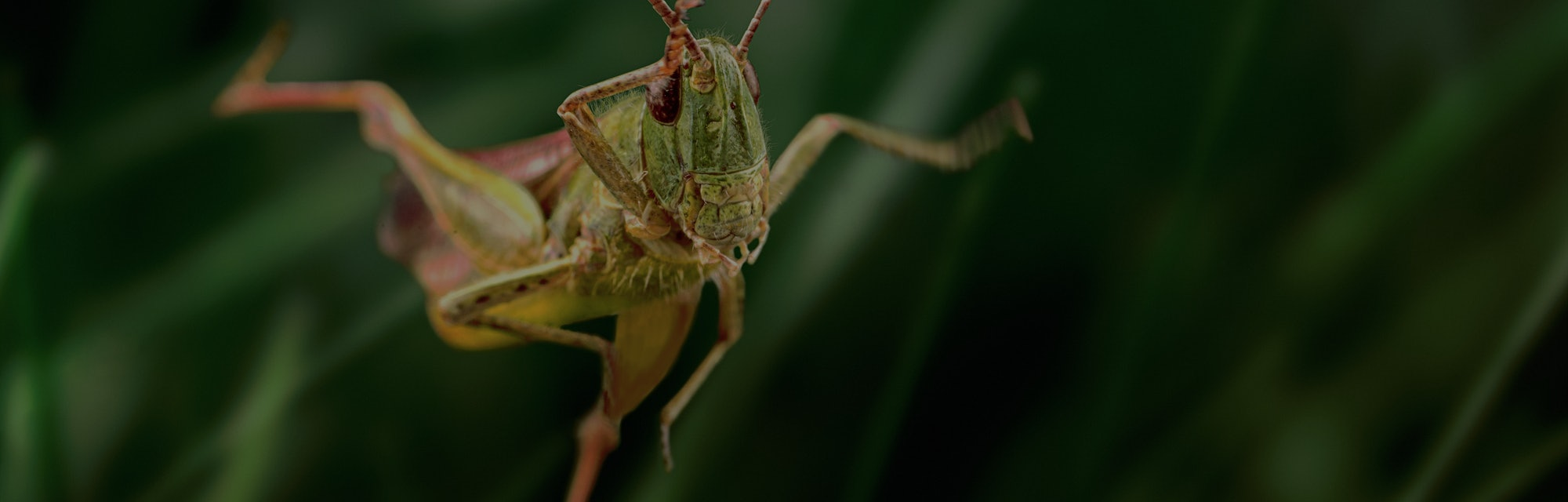 Grasshopper jump close up, insect macro