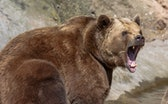 brown bear with wide open snout