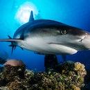 Huge white shark in blue ocean swims under water. Sharks in wild. Marine life underwater in blue ocean. Observation of animal world. Scuba diving adventure in Caribbean, coast of Cuba