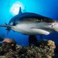Shark Week: How World War II fueled our cultural shark obsession