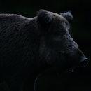 Wild boar contour in black background. Feral pig contour.