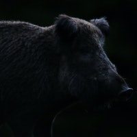 The environmental impact of feral hogs