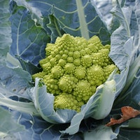 """Alien-like vegetables have mathematical """"memory"""" — study"""