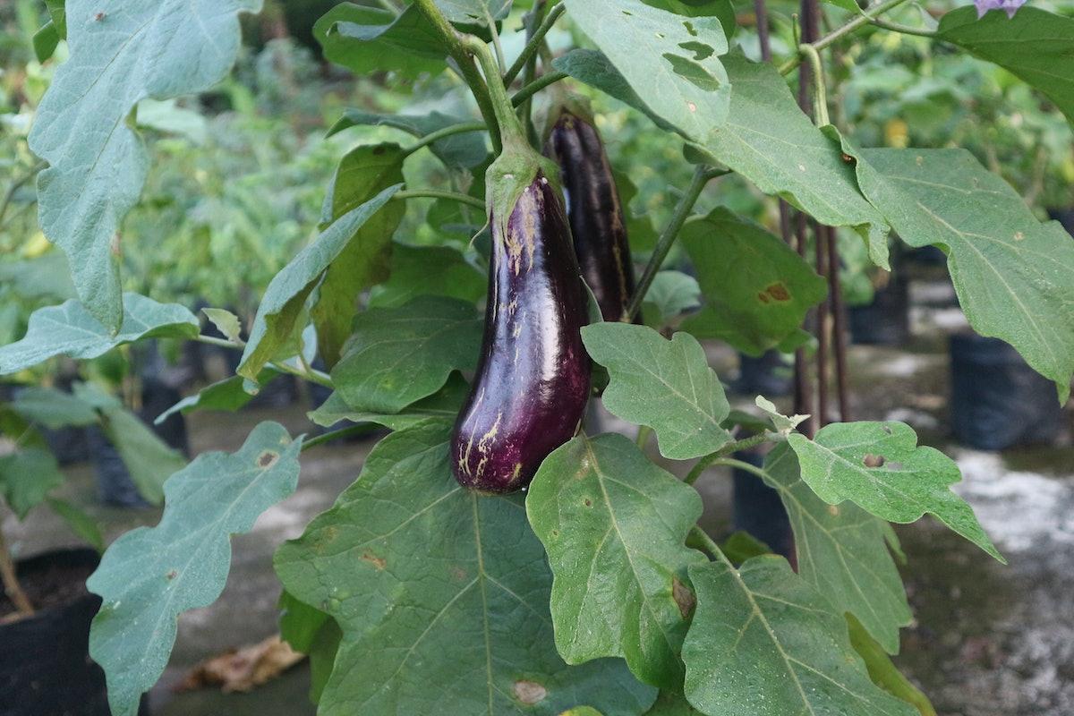 Eggplant in the garden. Fresh organic eggplant. Eggplant plant.