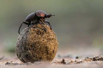 Dung beetle on his dung ball to impress the ladies in Sabi Sands GR,  part of the greater Kruger reg...