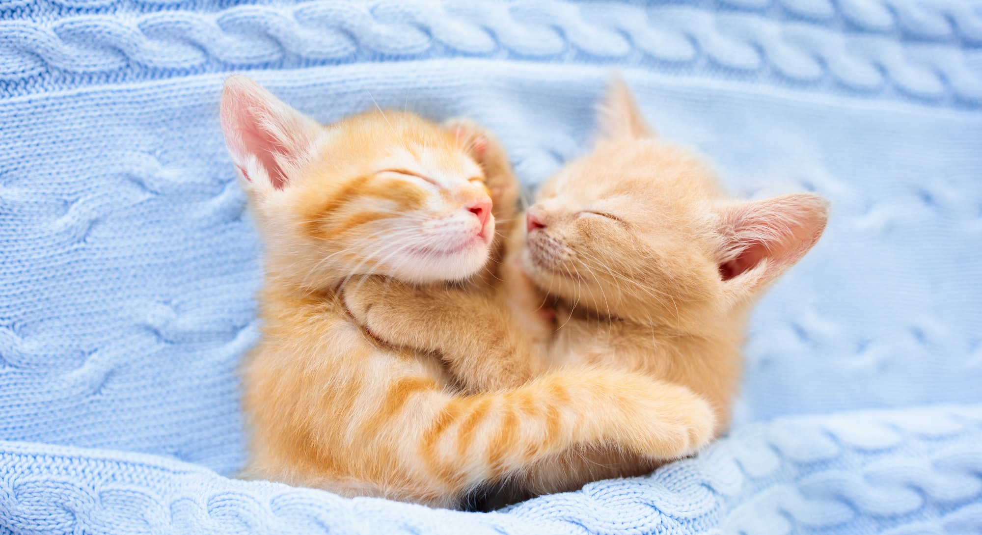 Baby cat sleeping. Ginger kitten on couch under knitted blanket. Two cats cuddling and hugging. Dome...