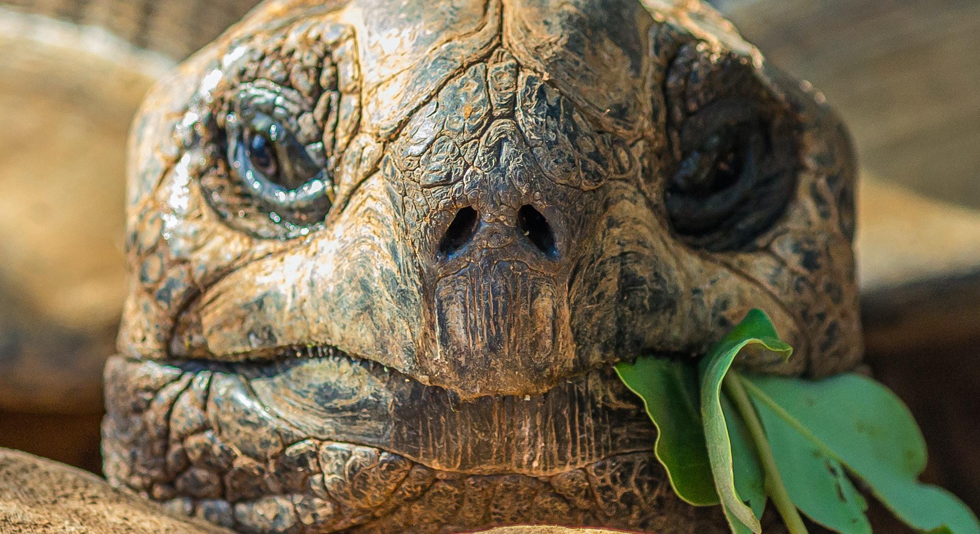 Portrait of a large elephant tortoise (Chelonoidis elephantopus) eats a branch with leaves. It is al...