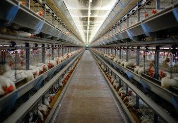 鶏家の家禽ケージ。 国内鶏、鶏家の鶏がフィーダーから食べ物を食べています。 畜産農場...