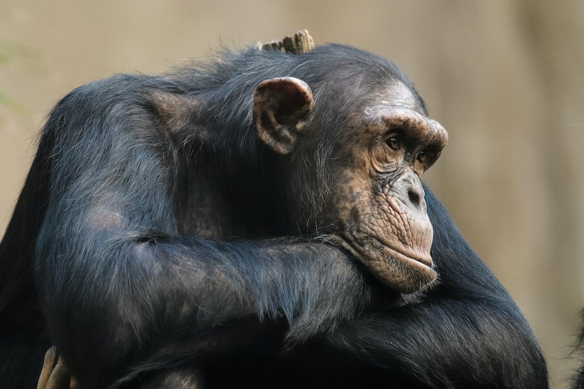 Closeup of a chimpanze resting on its arms