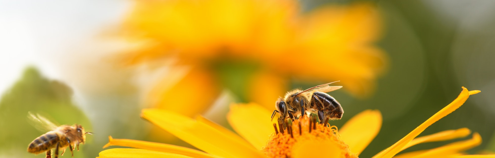 Bee and flower. Close up of a large striped bee collects honey on a yellow flower on a Sunny bright ...