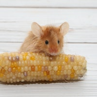 """Mysteriously """"slimy"""" mice lead to surprise fat loss discovery"""