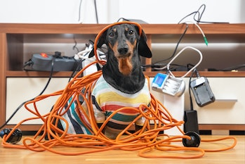 Naughty dachshund was left at home alone and made a mess. Dog in striped t-shirt scattered and tore ...