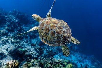 Green sea turtle swimming above a coral reef close up. Sea turtles are becoming threatened due to il...