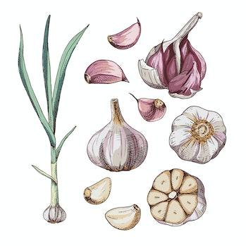 Hand drawn colorful garlic. Set sketches with cut garlic, plant and clove of garlic. Vector illustra...