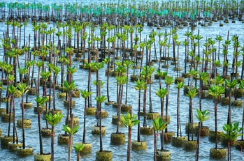 Mangrove Tree of Mangrove Forest. Seedlings grown on the coast Planted to take care of the coast Sma...