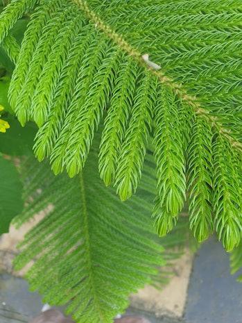Araucaria Columnaris, thecoral reef araucaria,Cook pine,New Caledonia pine,Cook araucaria, orco...