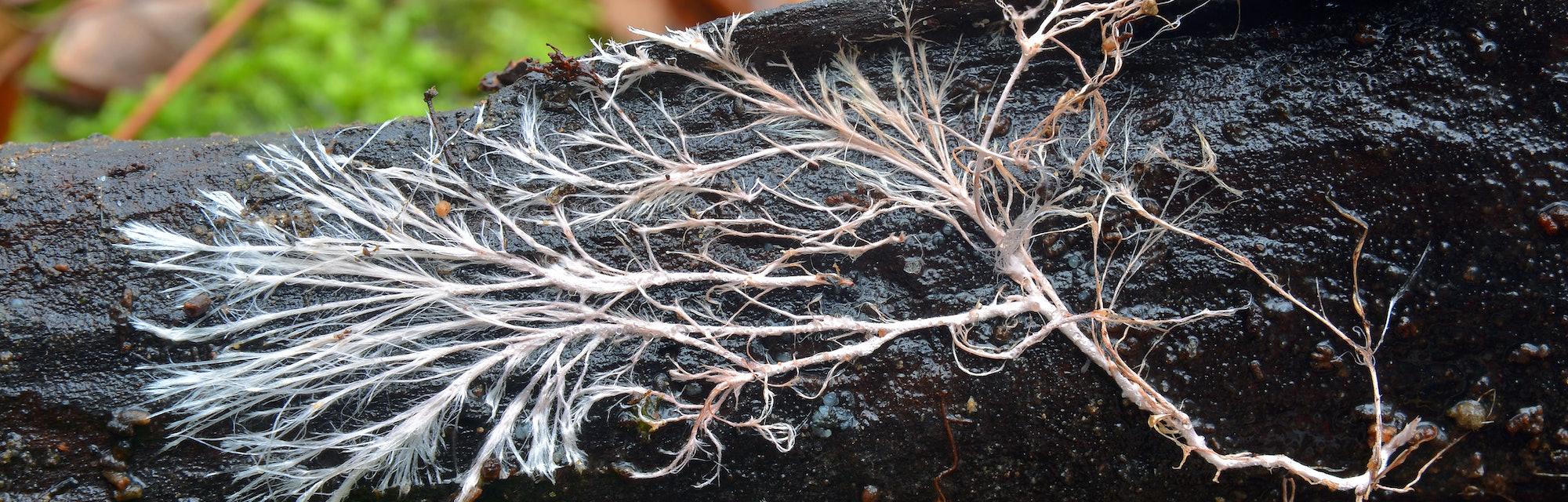 rizomorph mycelial cord on dead wood