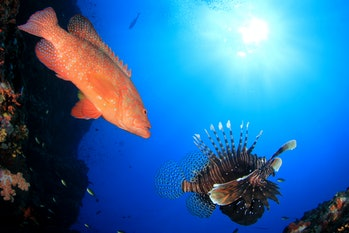 Grouper fish and Lionfish