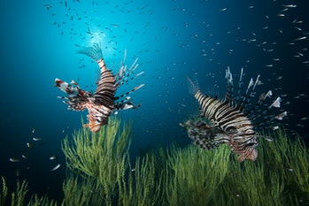 Beautiful lion fish (or turkey fish) hovering in mid water hunting for small prey in blue water over...
