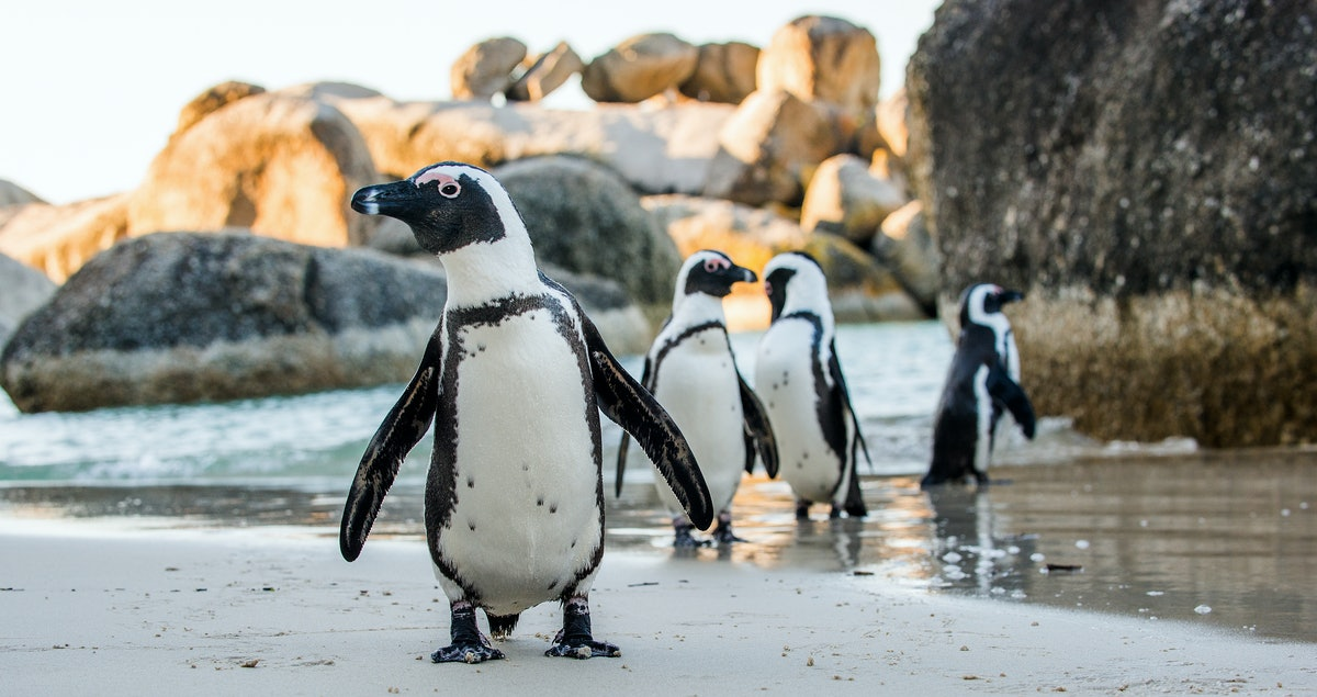African penguin  on the sandy beach. African penguin ( Spheniscus demersus) also known as the jackas...