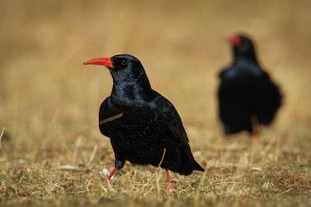 Red-billed Chough - Pyrrhocorax pyrrhocorax, Cornish chough or simply chough is a black bird with th...