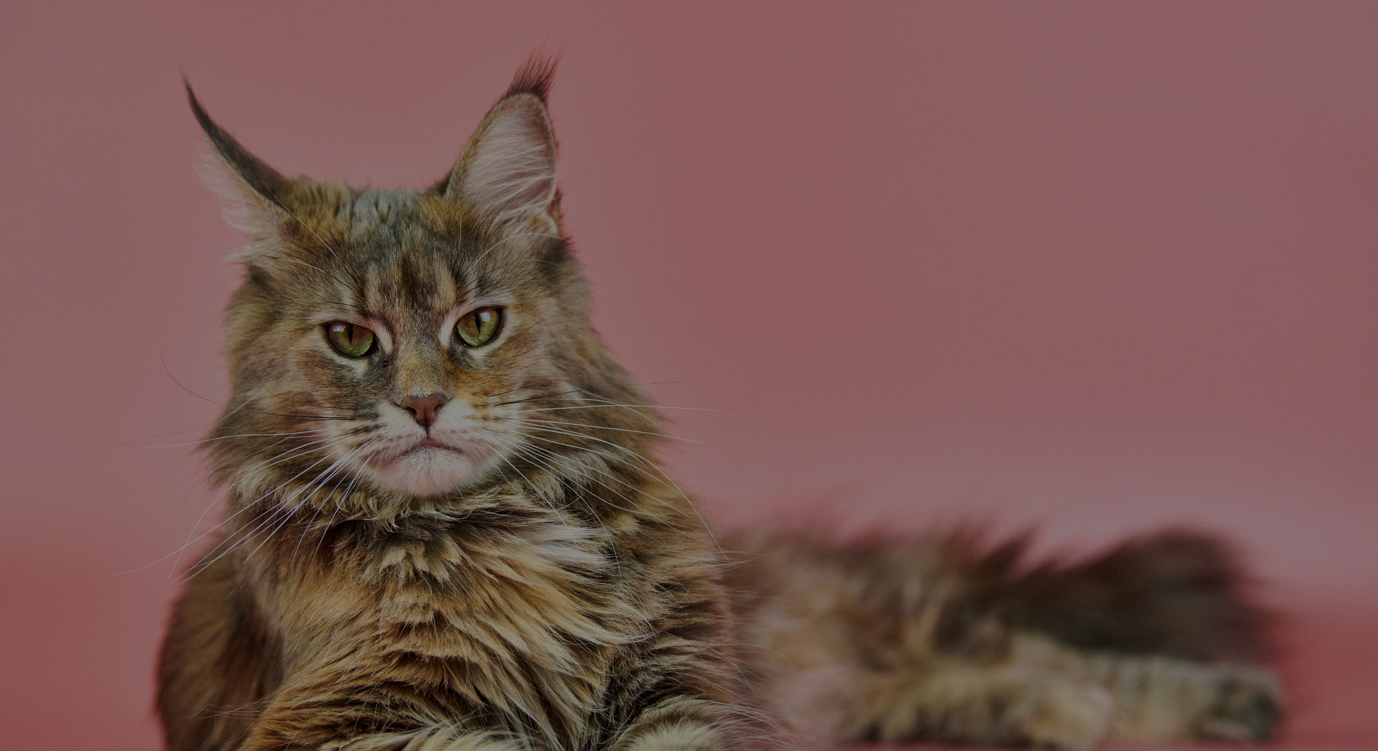 Maine Coon tortoiseshell cat, copy space. Adult female maine coon purebred cat on pink background. T...