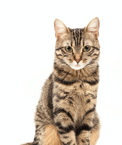 Domestic Egyptian striped kitten. Cute young red cat isolated on abstract blurred white background. ...