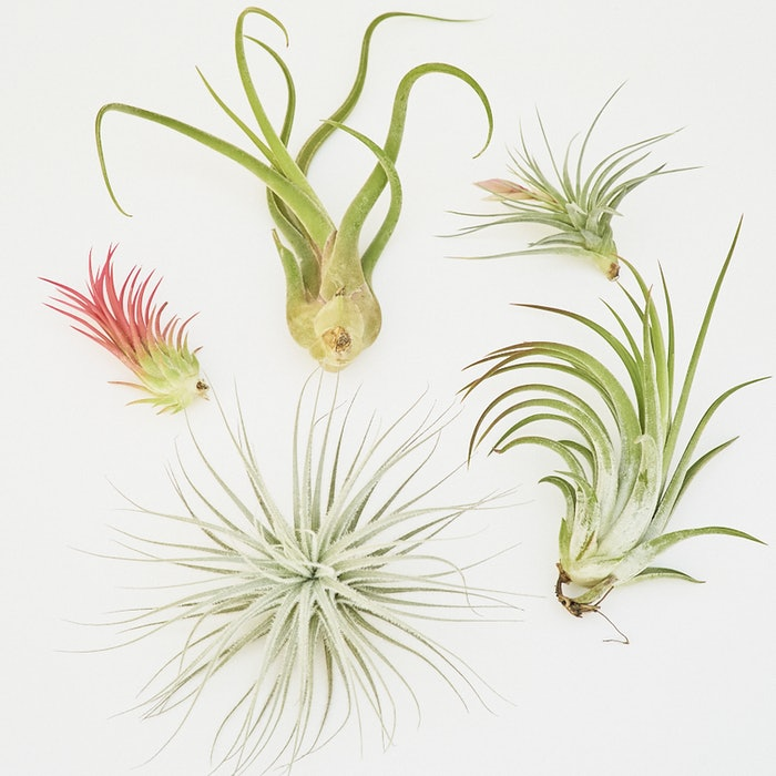 Mystery Air Plant Box: image 1
