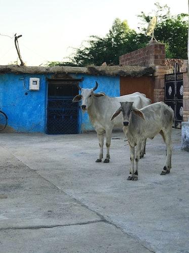 India_Cows.jpg