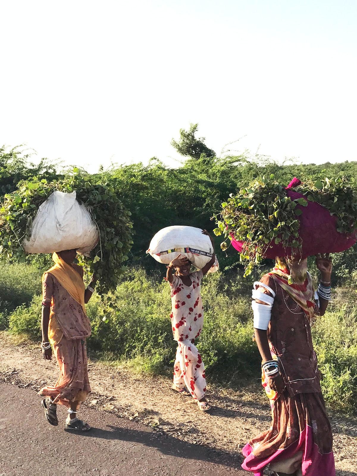 India_Women_Harvesting_Lentils_in_Rohet.jpg