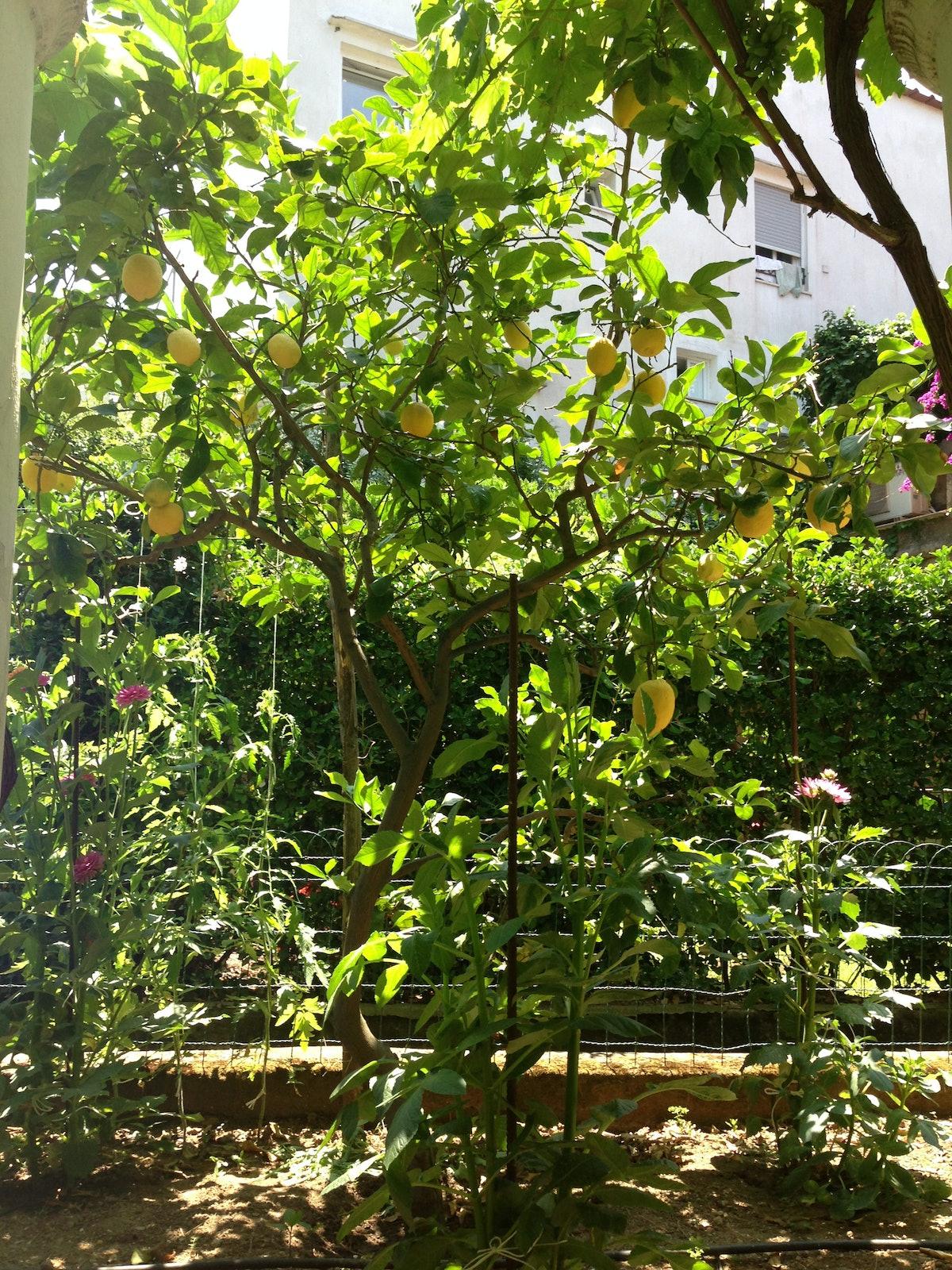 trar-capri-09-LemonTreesatVilladiCastelo