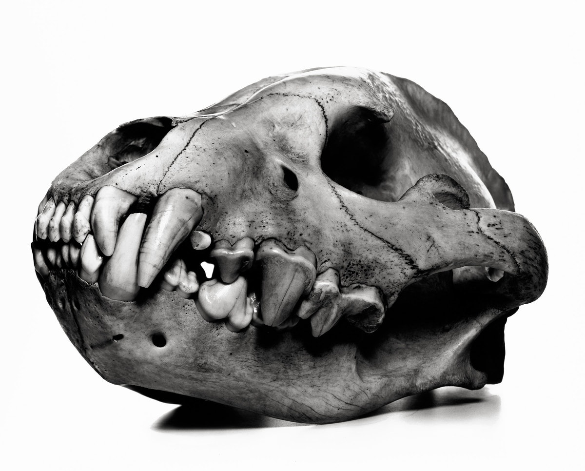 arar-Spotted-Hyena--Penn-(high-res)