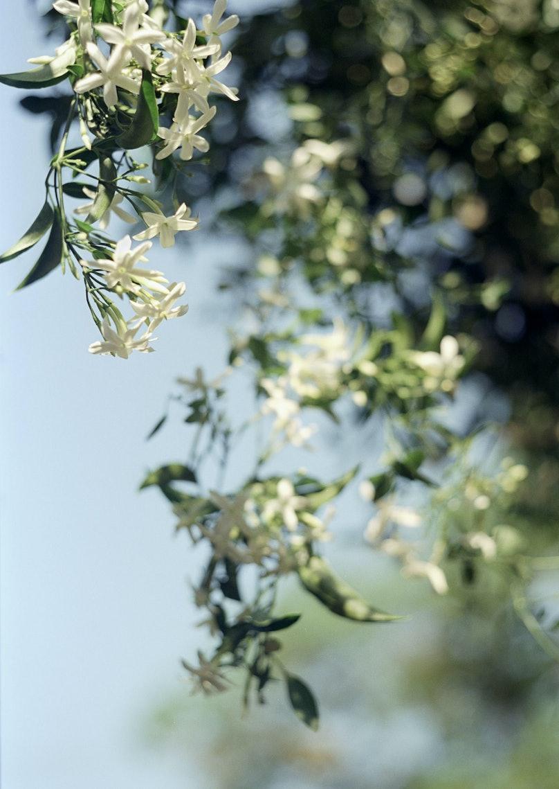 Jasminum grandiflorum by Terri Weifenbach