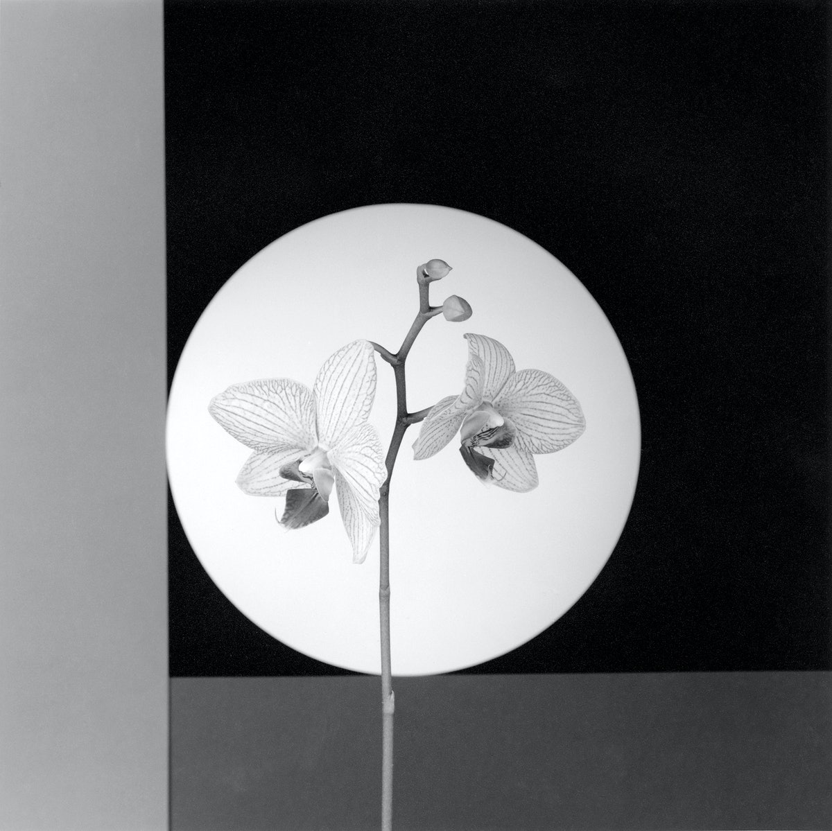 Robert Mapplethorpe's Orchid