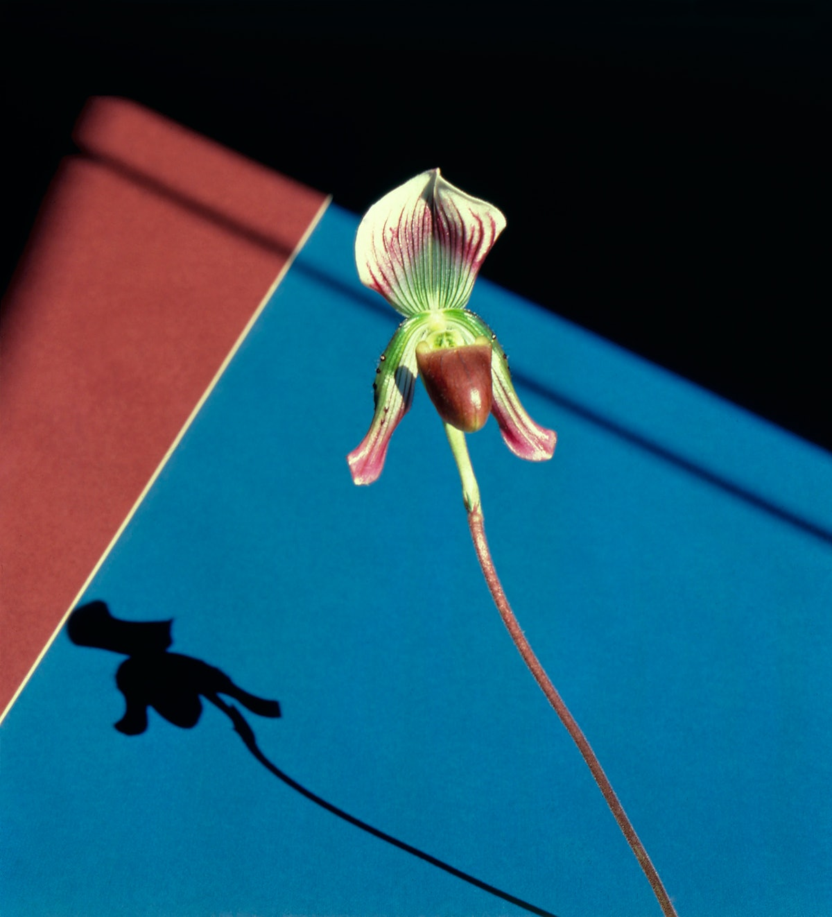 Mapplethorpe's Orchid